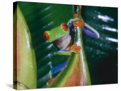 Gaudy Leaf Frog, Costa Rica-Mary Plage-Stretched Canvas Print