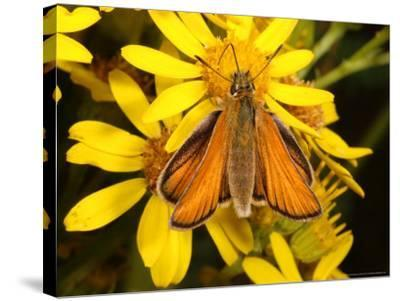 Essex Skipper Butterfly, Adult Feeding from Flower, UK-Keith Porter-Stretched Canvas Print