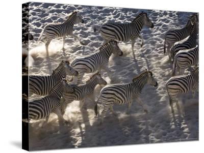 Burchells Zebra, Group Running, Botswana-Mike Powles-Stretched Canvas Print