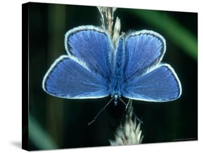 Common Blue, Male, Essex-Alastair Shay-Stretched Canvas Print