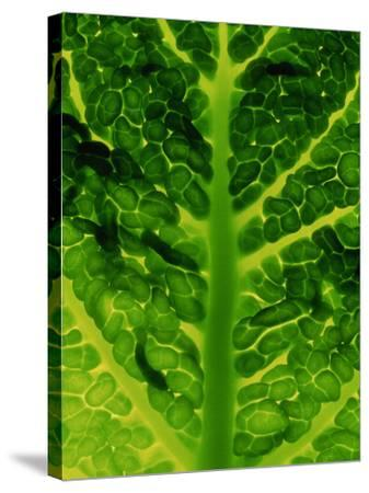 Extreme Close-up of Brassica, Savoy Cabbage, November-James Guilliam-Stretched Canvas Print