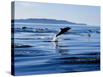 Long-Nosed Common Dolphin, Porpoising, Sea of Cortez-Gerard Soury-Stretched Canvas Print