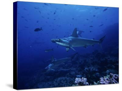 Scalloped Hammerhead Shark, Group, Galapagos-Gerard Soury-Stretched Canvas Print