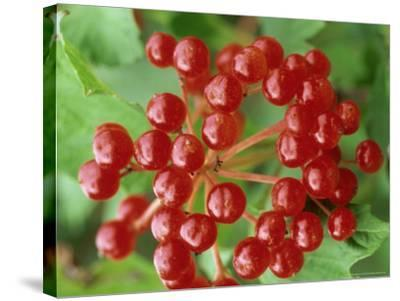 Guelder Rose, Berries, Sussex, UK-Ian West-Stretched Canvas Print