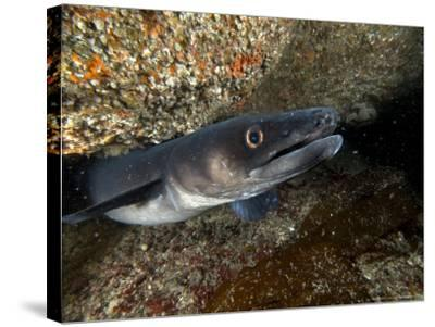 Conger Eel, Emerging from Rock Crevice, UK-Mark Webster-Stretched Canvas Print