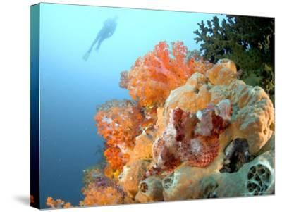 Bearded Scorpion Fish on Coral, Indonesia-Mark Webster-Stretched Canvas Print