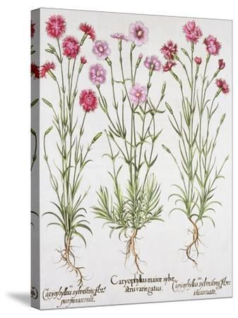 Various Varieties of Dianthus, from the Hortus Eystettensis by Basil Besler--Stretched Canvas Print
