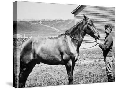 Comanche, Captain Keogh's Mount, the Only Survivor of Custer's Last Stand, 25th June 1876--Stretched Canvas Print