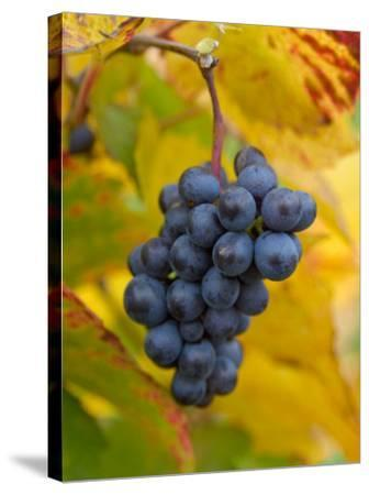 Beaujolais Red Grapes in Autumn, Burgundy, France-Lisa S^ Engelbrecht-Stretched Canvas Print