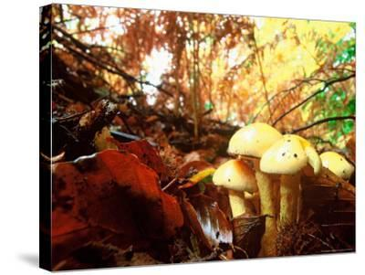 Mushrooms Growing Among Autumn Leaves, Jasmund National Park, Island of Ruegen, Germany-Christian Ziegler-Stretched Canvas Print