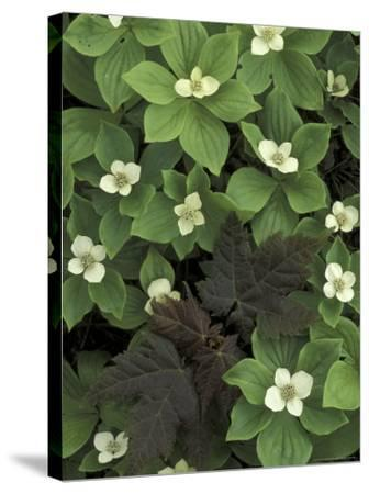 Maple Seedling in Bunchberry, Michigan, USA-Claudia Adams-Stretched Canvas Print