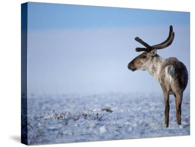 Barren Ground Caribou, Arctic National Wildlife Refuge, Alaska, USA-Steve Kazlowski-Stretched Canvas Print