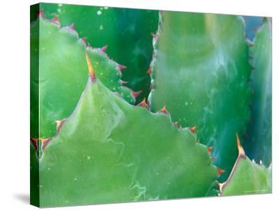 Agave, Sonora Desert Museum, Tucson, Arizona, USA-Rob Tilley-Stretched Canvas Print