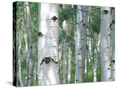 Aspen Grove, Colorado, USA-Julie Eggers-Stretched Canvas Print
