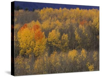 Aspen Grove in Fall, Victor, Idaho, USA-Jamie & Judy Wild-Stretched Canvas Print