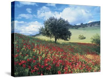 Poppies and Tree, Andalucia, Spain-Peter Adams-Stretched Canvas Print
