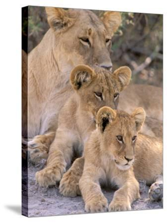 Lioness and Cubs, Okavango Delta, Botswana-Pete Oxford-Stretched Canvas Print