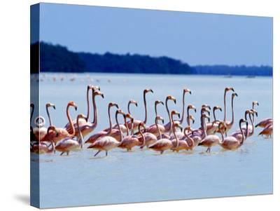 Flamingos at Laguna Oviedo, Dominican Republic, Caribbean-Greg Johnston-Stretched Canvas Print