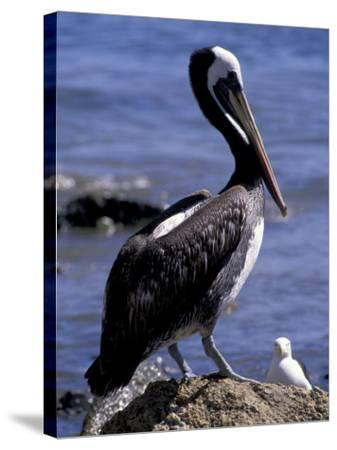 Peruvian Pelican, Coquimbo, Chile-Andres Morya-Stretched Canvas Print