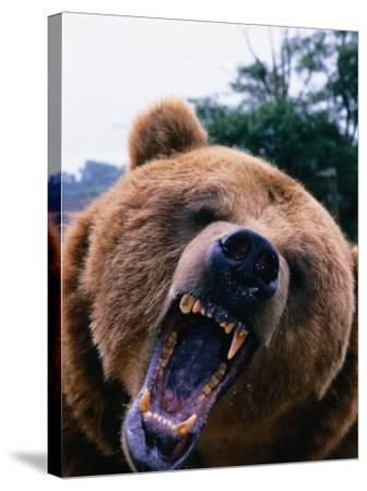 Grizzly Bear (Ursus Arctos), Denali National Park & Preserve, Alaska, USA-Mark Newman-Stretched Canvas Print