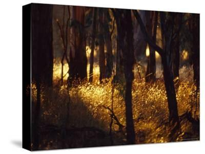 Sunset Falls Over Seeding Grasses and Tree Trunks in Late Summer-Jason Edwards-Stretched Canvas Print