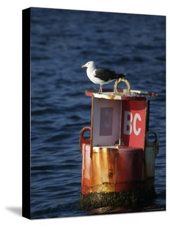 Great Black-Backed Gull on a Navigational Bouy in Gloucester Harbor-Tim Laman-Stretched Canvas Print