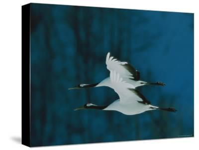 Perfect Formation of Two Japanese or Red-Crowned Cranes in Flight-Tim Laman-Stretched Canvas Print