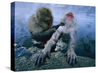 Two Japanese Macaques, or Snow Monkeys, Enjoy a Dip in a Hot Spring-Tim Laman-Stretched Canvas Print