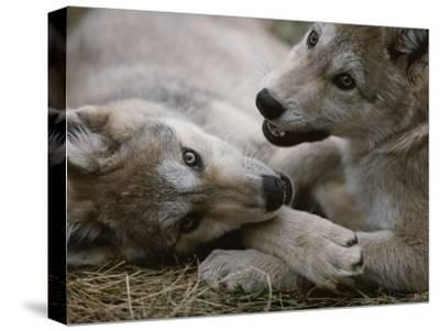 Fourteen-Week-Old Gray Wolves, Canis Lupus, Play with Each Other-Jim And Jamie Dutcher-Stretched Canvas Print
