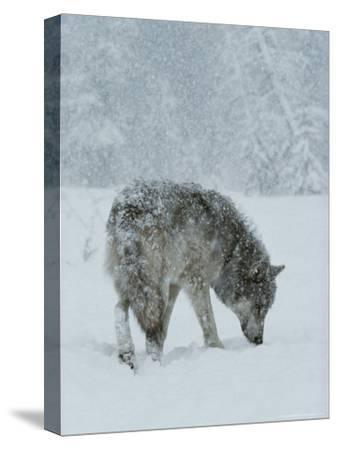 Gray Wolf, Canis Lupus, Sniffs at the Ground During a Snowstorm-Jim And Jamie Dutcher-Stretched Canvas Print