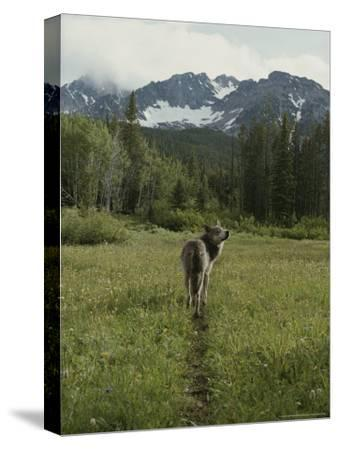 Gray Wolf, Canis Lupus, Crosses a Mountain Meadow on a Worn Path-Jim And Jamie Dutcher-Stretched Canvas Print