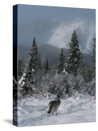 Gray Wolf, Canis Lupus, Passes Through a Snowy Mountain Landscape-Jim And Jamie Dutcher-Stretched Canvas Print