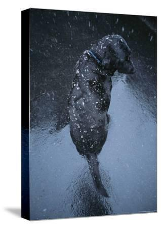 Black Lab Named Blackie Sits on Blacktop During a Snow Shower-Bill Curtsinger-Stretched Canvas Print