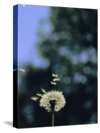 Sunlight Catches Wind-Blown Dandelion Seeds as They Fly From the Stem-Norbert Rosing-Stretched Canvas Print