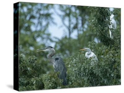 Great Blue Heron and Great White Egrets-George Grall-Stretched Canvas Print