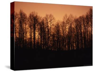 Hardwood Trees Make a Silhouette at Sunset-Stephen Alvarez-Stretched Canvas Print