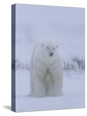 Portrait of a Polar Bear, Ursus Maritimus, in a Snow Storm-Norbert Rosing-Stretched Canvas Print