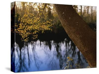 Sweet Gum Tree Leaning over the Dismal Swamp Canal-Raymond Gehman-Stretched Canvas Print