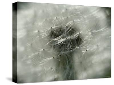 Close View of a Dandelion That Has Gone To Seed-Todd Gipstein-Stretched Canvas Print