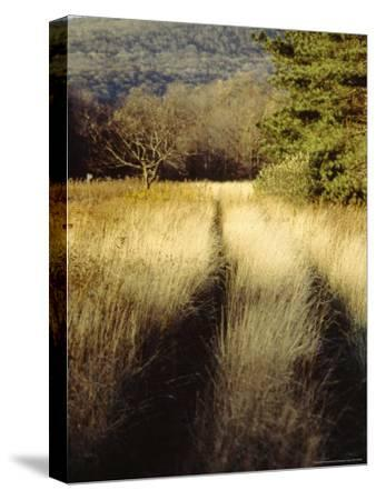 Meadow Grass in the Cranberry Glades Botanical Area in Autumn-Raymond Gehman-Stretched Canvas Print