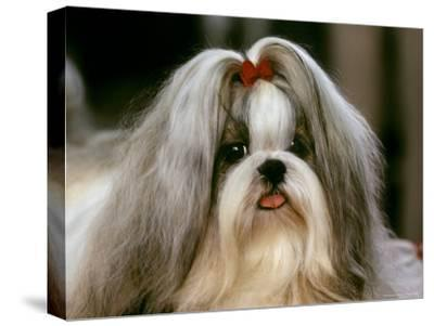 Shih Tzu Poses at a Dog Show in Bermuda-Rex Stucky-Stretched Canvas Print