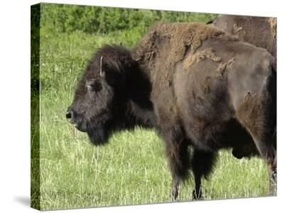 Buffalo Cow on the Grasslands of Custer State Park, Black Hills, South Dakota--Stretched Canvas Print