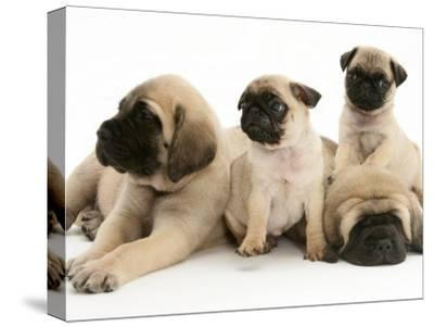 Fawn Pug Pups with Fawn English Mastiff Puppies-Jane Burton-Stretched Canvas Print