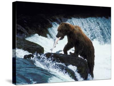 Grizzly Bear Catching Fish from Rushing Stream--Stretched Canvas Print