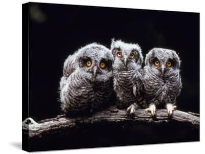 Screech Owlets Sitting on Tree Branch--Stretched Canvas Print