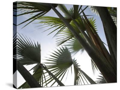 Towering Tropical Palm Tree Branches--Stretched Canvas Print
