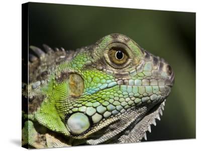 Green Iguana, San Iguacio, Belize-Jane Sweeney-Stretched Canvas Print