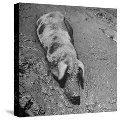 Hog Weighing 200 Lbs. Wallowing in a Mud Pile-Bob Landry-Stretched Canvas Print