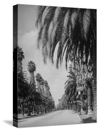 Palm Tree-Lined Street in Beverly Hills-Alfred Eisenstaedt-Stretched Canvas Print