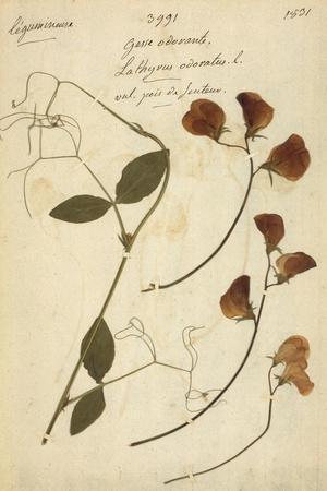 Lathyrus--Stretched Canvas Print